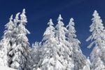 Thumbnail Snow-covered spruces on Wank mountain, Werdenfelser Land, Upper Bavaria, Bavaria, Germany