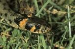 Thumbnail Grass Snake, (Natrix natrix) eastern variety with orange head spots, Hortobagy, Puszta, Hungary