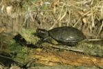 Thumbnail European Pond Terrapin (Emys orbicularis) resting in the sun on a tree log