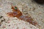 Thumbnail Hinge-beak Shrimp (Rhynchocinetes sp.)