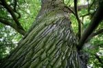 Thumbnail Spirally old oak