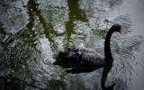 Thumbnail Black Swan (Cygnus atratus)
