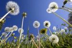 Thumbnail Dandelion meadow (Taraxacum officinale), Upper Bavaria, Germany