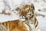 Thumbnail Siberian tiger (Panthera tigris altaica) in snow, portrait