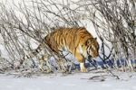 Thumbnail Siberian tiger (Panthera tigris altaica) in snow
