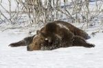 Thumbnail Grizzly bear (Ursus arctos horribilis) lying in snow, Montana, USA