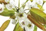 Thumbnail Nashi Pears (Pyrus pyrifola), blossoms