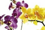 Thumbnail Orchids