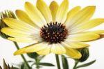 Thumbnail Glandular Cape Marigold (Dimorphotheca sinuata)