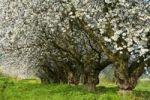 Thumbnail Old cherry trees, blossoming cherry tree, cherry blossom, spring, Wiesbaden-Frauenstein, Rheingau, Hesse, Germany