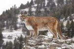Thumbnail Cougar (Felis concolor), on a rock, Montana, USA