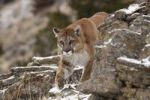 Thumbnail Stalking Cougar (Felis concolor), Montana, USA