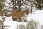 Thumbnail Cougar (Felis concolor) in winter, Montana, USA