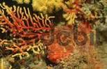 Thumbnail Large Scaled Scorpionfish, Mediterranean Sea / Scorpaena scrofa