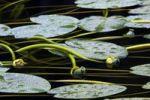 Thumbnail Water lily-pads, Neuschoenau, Bavaria, Germany