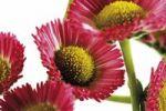 Thumbnail Common Daisies (Bellis perennis)