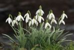 Thumbnail Snow Drops (Galanthus nivalis) at a brook in a floodplain forest