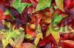 Thumbnail Sweet Gum Tree leaves in autumn / Liquidambar styraciflua pendula