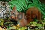 Thumbnail Red Squirrel eating hazelnut, Lower Saxony, Germany / Sciurus vulgaris