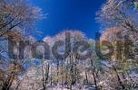 Thumbnail Mixed Forest in autumn with first snow, Hessen, Germany