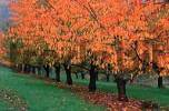 Thumbnail Cherry trees in autumn, Hessen, Germany