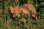 Thumbnail Red Fox cub, Hessen, Germany / Vulpes vulpes