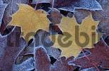 Thumbnail Norway Maple leaves in autumn covered with hoarfrost, Lower Saxony, Germany / Acer platanoides
