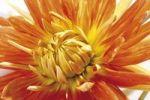 Thumbnail Dahlia (Dahlia macdougallii)