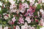 Thumbnail Weigela (Weigela), blossoms