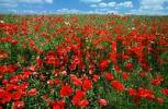 Thumbnail Common Poppies, Lower Saxony, Germany / Papaver rhoeas