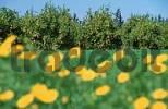 Thumbnail Orange plantation, Cyprus / Citrus sinensis