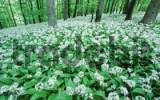 Thumbnail Ramsons in spring forest, Lower Saxony, Germany / Allium ursinum