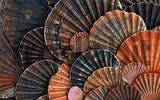 Thumbnail Shells of Pilgrims Scallop / Pecten jacobaeus