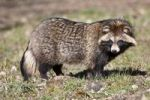Thumbnail Raccoon Dog (Nyctereutes procyonoides), Hesse, Germany, Europe