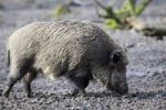 Thumbnail Wild boar (Sus scrofa) searching for food in mud, Hesse, Germany, Europe
