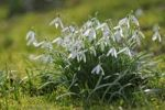 Thumbnail Snow Drops (Galanthus nivalis) in a meadow