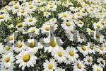 Thumbnail Shasta Daisies Leucanthemum superbum