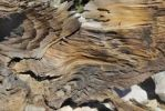 Thumbnail Wood structure of a Bristlecone Pine (Pinus aristata), Bristlecone Pine Grove, Great Basin National Park, Nevada, USA