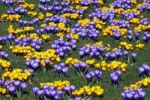 Thumbnail Flowering blue and yellow Dutch crocuses (Crocus vernus hybrids)