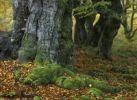 Thumbnail Old European Beech or Common Beech (Fagus sylvatica), autumn, Hallohwald forest, Kellerwald-Edersee National Park, Hesse, Germany, Europe