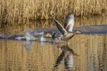 Thumbnail Greylag goose (Anser anser) taking off