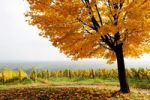 Thumbnail Vineyard with tree in autumn on the Suedliche Weinstrasse, Southern Wine route, South Palatine, Rhineland-Palatine, Germany