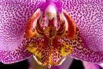Thumbnail Orchid (Phalaenopsis)