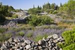 Thumbnail Lavender (Lavandula angustifolia) blossoming in front of a natural stone wall, Hvar, Croatia, Europe