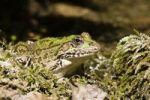 Thumbnail Frog (Rana spec.), Krka National Park, Dalmatia, Croatia, Europe