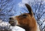 Thumbnail Lama before blue sky