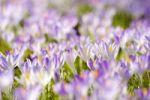 Thumbnail Crocuses (Crocus vernus) in spring
