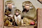 Thumbnail Baboon family (Papio hamadryas)