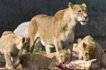 Thumbnail Dinner time for a female lion and cubs (Panthera leo)