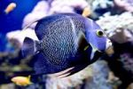 Thumbnail French Angelfish (Pomacanthus paru)